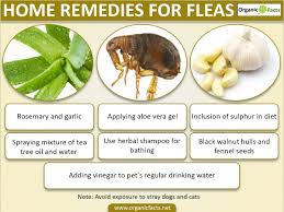 8 efficient home remedies for fleas organic facts