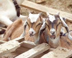 the complete quick start guide to raising goats the free range life