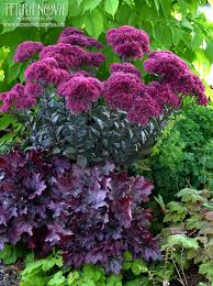 sedum u0027autumn joy u0027 this plant is as dependable and adaptable as