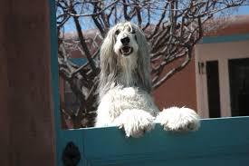 afghan hound agility border collie vs afghan hound