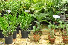ornamental plants cebu make ornamental plant is not difficult