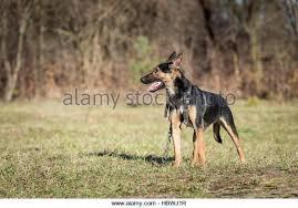 belgian shepherd quebec belgian stock photos u0026 belgian stock images alamy