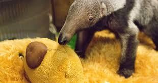 Anteater Meme - giant teddy bear becomes surrogate mum for baby anteater beanie at