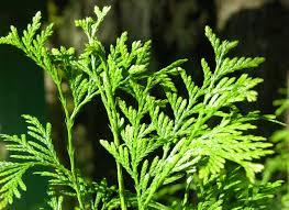 native washington plants the wild garden hansen u0027s northwest native plant database