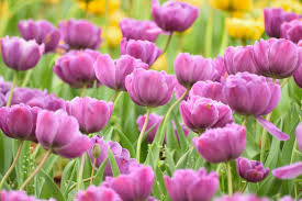 most popular flowers all the prettiest things about purple tulips