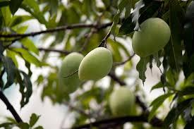 Mango Boom mango tree green fruits 盞 free photo on pixabay