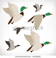 duck stock images royalty free images u0026 vectors shutterstock