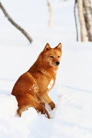afghan hound harga finnish spitz dog breed information pictures characteristics