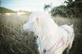 australian shepherd quinn quinn the aussie