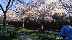 Botanical Gardens Dallas by The Annual Cherry Blossoms Are In Bloom At The Dallas Arboretum