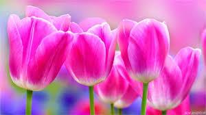 wallpaper bunga tulip hasil gambar untuk bunga tulip bunga tulip pinterest flowers