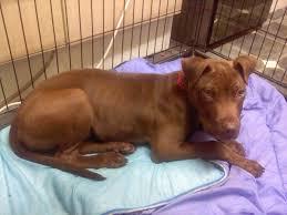 american pitbull terrier 7 months 7 month old female puppy lab x staff mix birmingham west