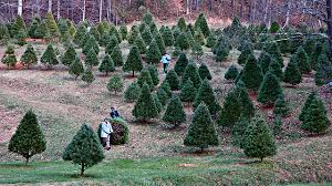 christmas tree for sale o christmas tree quest kqed science