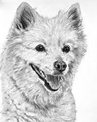 american eskimo dog new zealand american eskimo charcoal drawing drawing pet art pinterest