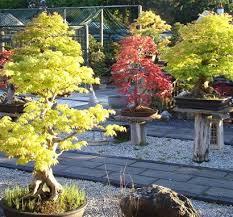 bonsai trees herons bonsai tree store indoor bonsai and