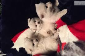 american eskimo dog dallas lilly american eskimo dog puppy for sale near eastern ct