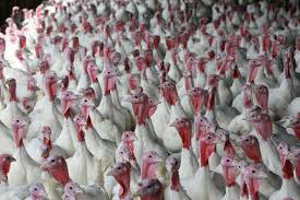 pretty the turkey farm just like a horror