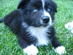 australian shepherd blue eyes australian shepherd black bi with blue eyes australian