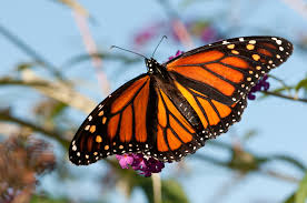 it u0027s a good year for monarchs but more butterflies are on the brink