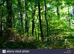 hardwood forest of small oregon bigleaf maple trees seen with