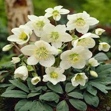 helleborus niger white 1 plant buy order now