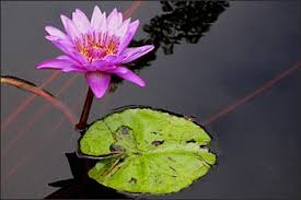 Lotus Flower In Muddy Water - flowers lotus plants and pitcher plants in asia facts and details