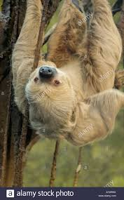 sloth upside stock photos u0026 sloth upside stock images alamy