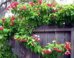 Non Invasive Climbing Plants - asian climbing plants for the garden wearefound home design