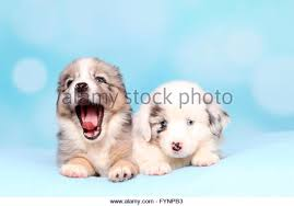 miniature australian shepherd 6 weeks yawning miniature australian shepherd stock photos u0026 yawning