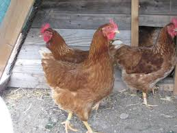 Best Backyard Chicken Breed by Why Keep Backyard Chickens