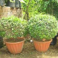 Bougainvillea Topiary - topiary plants potted topiary plants topiary green plants