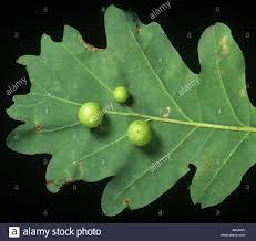 White Oak Leaf Gall On Oak Tree Quercus Stock Photos U0026 Gall On Oak Tree Quercus