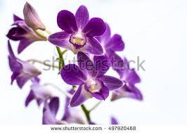purple orchids purple orchid stock images royalty free images vectors