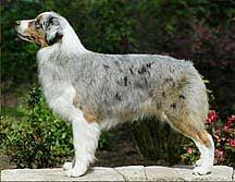 australian shepherd uglies shalako australian shepherds shalako u0027s firewire the story of mouse