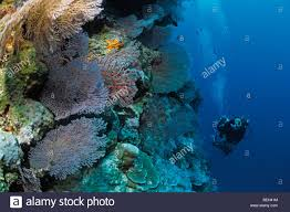 diver and coral reef christmas island australia stock photo