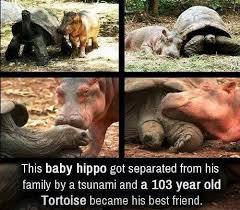 Baby Hippo Meme - baby hippo old tortoise become best friends the ultimate nature