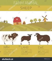 Ewe K Hen Sheep Farming Infographic Template Ram Ewe Stock Vector 540004630