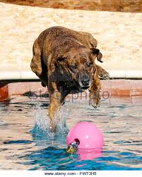 dog swim swimming pool stock photos u0026 dog swim swimming pool stock