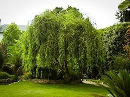 corkscrew curly weeping willow tree insteading