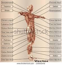Human Shoulder Diagram Human Muscle Anatomy Stock Images Royalty Free Images U0026 Vectors