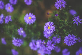 Fall Flowers Free Images Nature Blossom Meadow Fall Flower Purple Petal