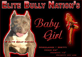 american pitbull terrier kennels in michigan past bully pitbull puppies for sale elite bully nation pitbulls