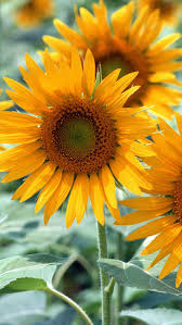 sunflower wallpapers best 25 sunflower iphone wallpaper ideas on pinterest sunflower