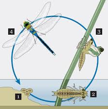 dragonfly life cycle worksheet