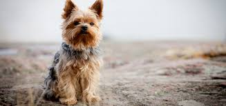 teacup yorkie haircuts pictures the yorkie coat facts care grooming haircut styles