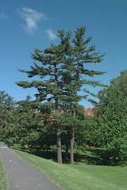 white pine trees pinus strobus eastern white pine plant database of