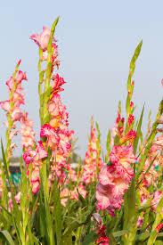 gladiolus bulbs michigan bulb