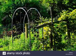 an archway leading into a trellis covered in grape vines stock