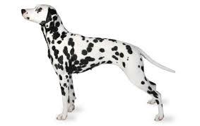 24 stocks dalmatian group