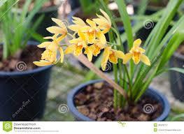 cymbidium orchid cymbidium orchid stock photos image 36323213
